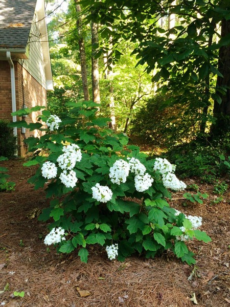 """Snowflake"" hydrangea in its third season."