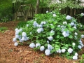 From three years ago - a prized mophead hydrangea.