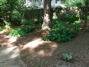Two big oakleaf hydrangeas. I rooted the one on the right from the one on the left.