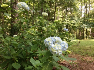Hydrangeas beginning to bloom in my back yard.