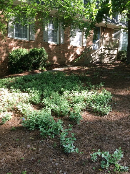 Natural area in the font yard with a growing patch of variegated vinca.
