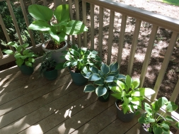 Various hosta on the front porch.