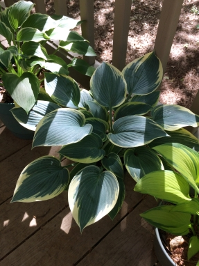 "My favorite hosta for this season. This is ""First Frost""."